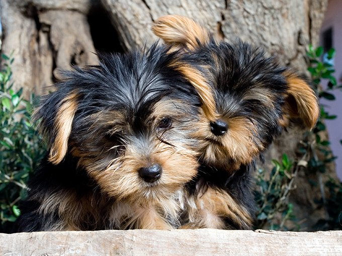 Yorkshire Terrier Yorkie Puppies Facts And Pictures Dogtime