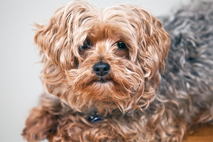 Yorkipoo Dog Breed Information, Pictures, Characteristics ...