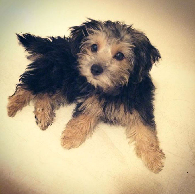 Yorkshire terrier x toy poodle puppies for sale – Dogs in ...